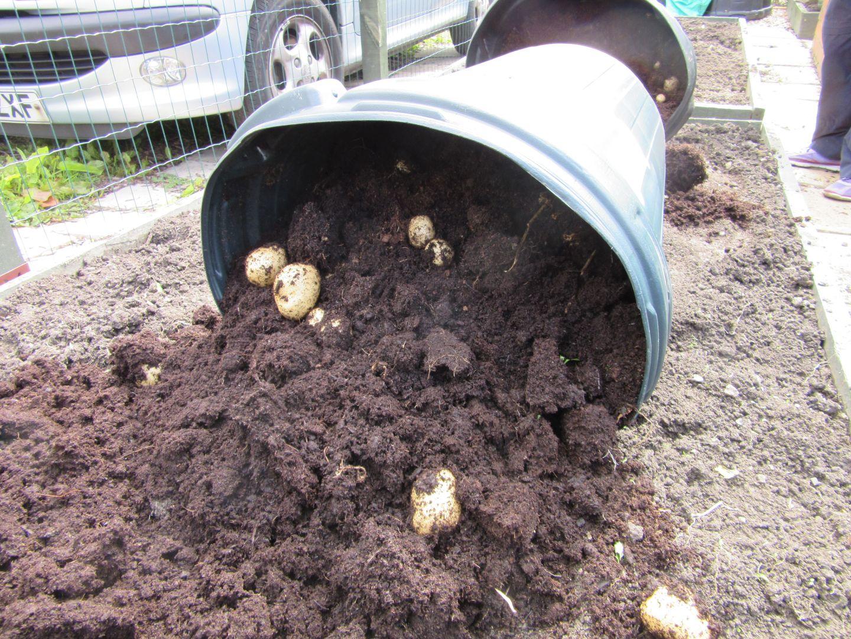 aug23_potato_harvest