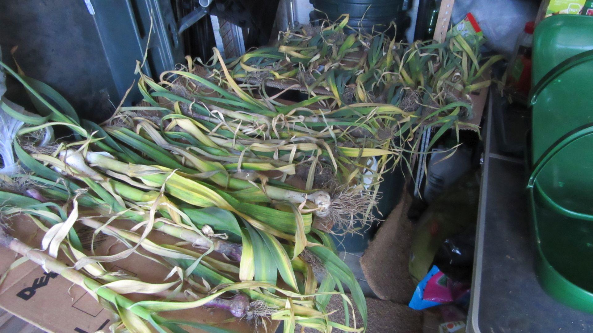 garlic_drying