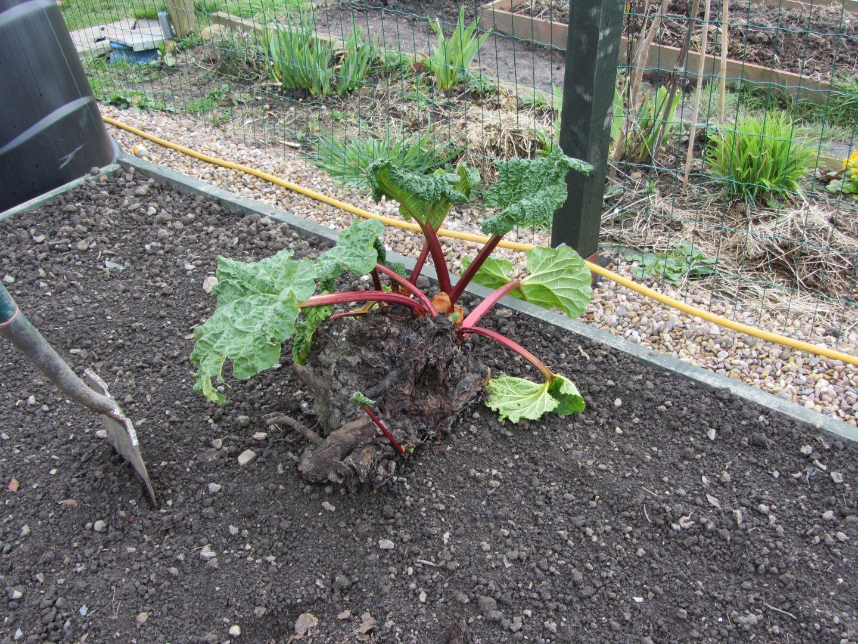 rhubarb01