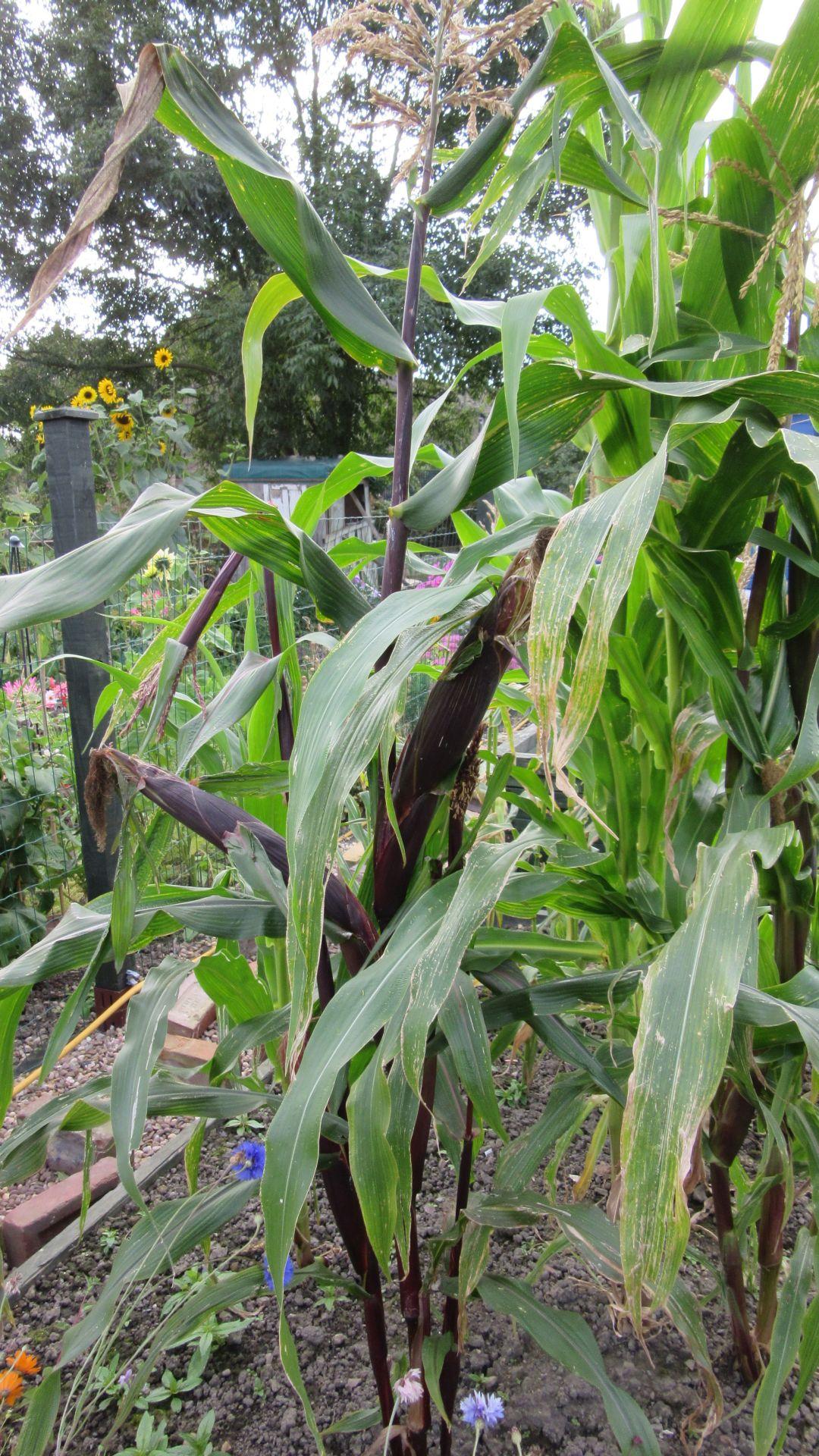sep27_corn1