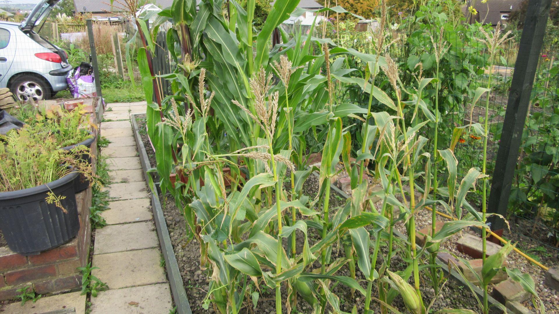 sep27_corn2