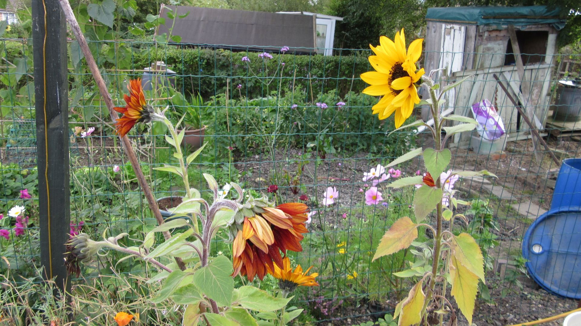sep27_sunflowers1