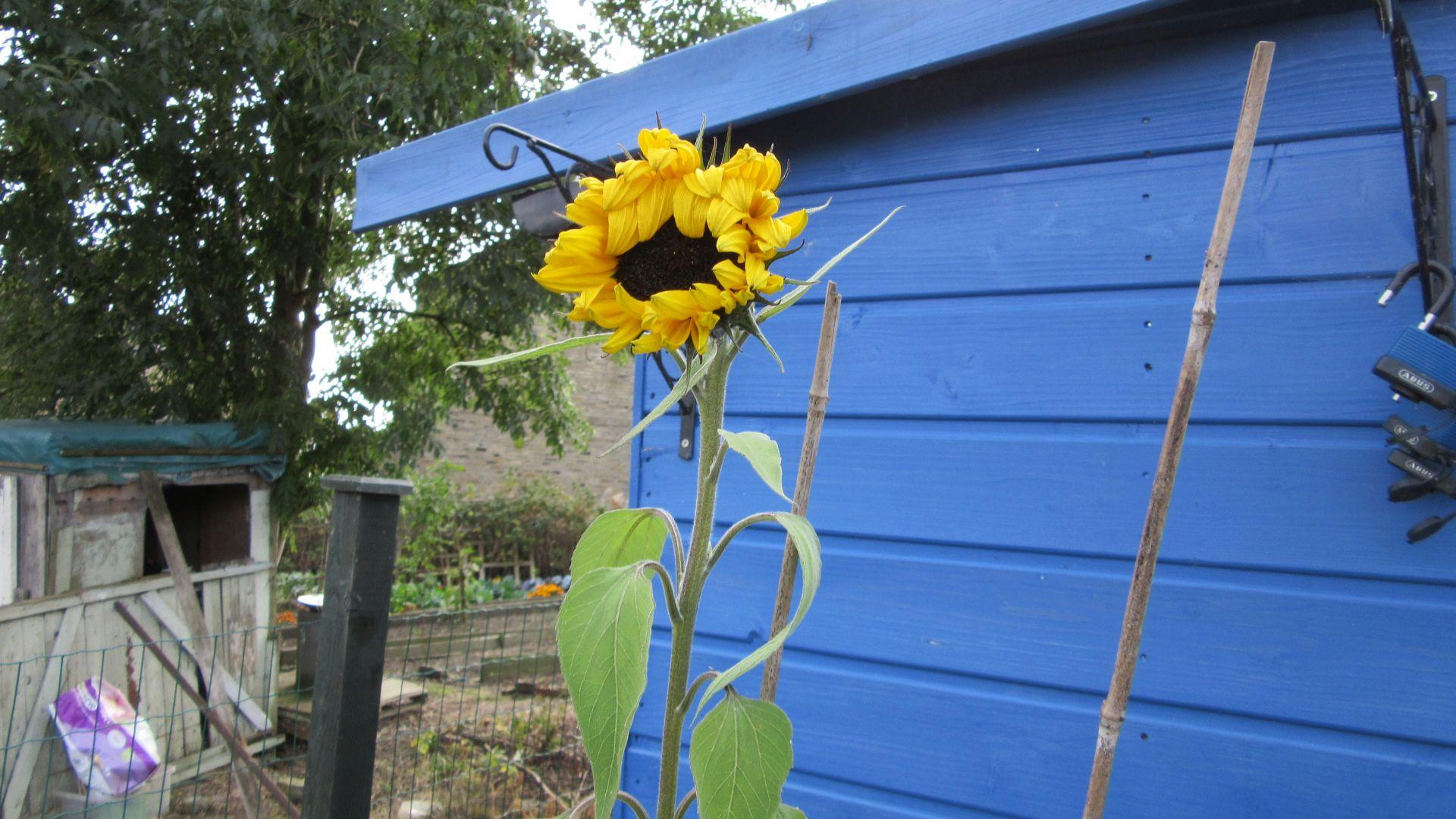 sep27_sunflowers2